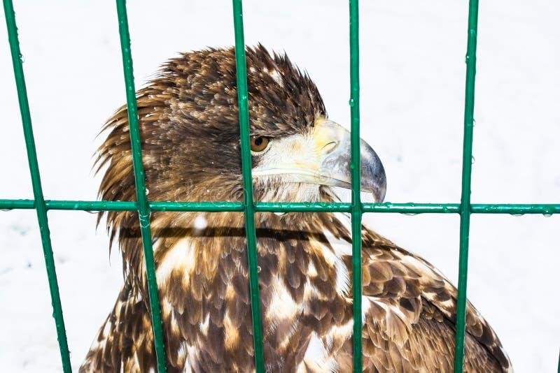 La testa dell'aquila dietro le barre di uno zoo fotografia stock libera da diritti