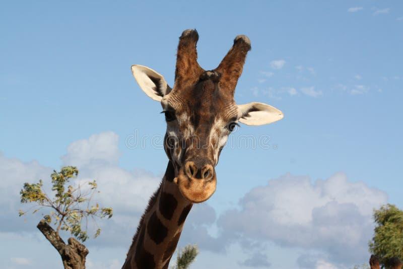 La testa della giraffa fotografie stock libere da diritti