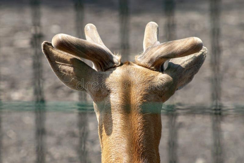 La testa di giovane cervo con i piccoli corni immagini stock