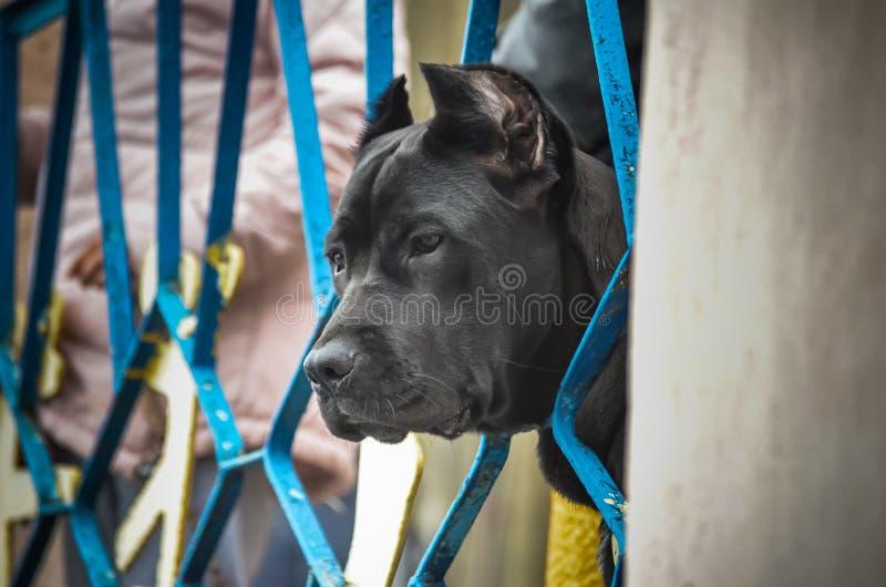 La testa di grande Cane Corso nero con le orecchie potate ha strisciato tramite un recinto del metallo e guarda la prestazione di immagine stock libera da diritti