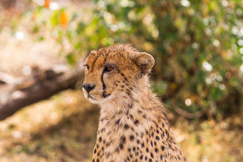 La testa di grande ghepardo Masai Mara, Kenia fotografia stock libera da diritti