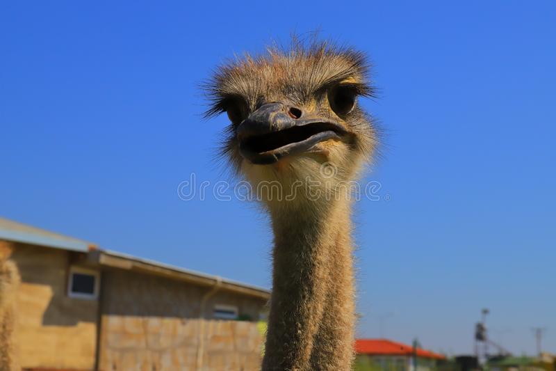 La testa di Ostrich in fas, primo piano fotografia stock libera da diritti