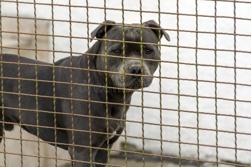 La testa di un cane della razza di combattimento più pitbulterier immagine stock libera da diritti