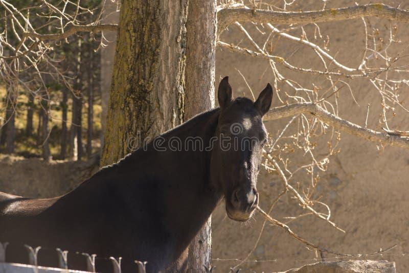 La testa di un cavallo nero piacevole immagine stock
