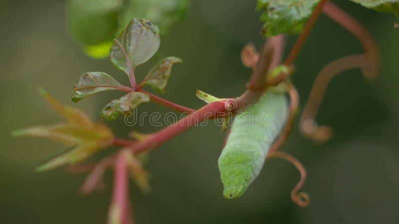 La testa di un Hornworm verde Caterpillar che pende dalla vite, 4K video d archivio