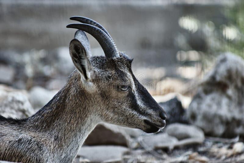 La testa di una capra selvaggia Kri-Kri fotografia stock libera da diritti