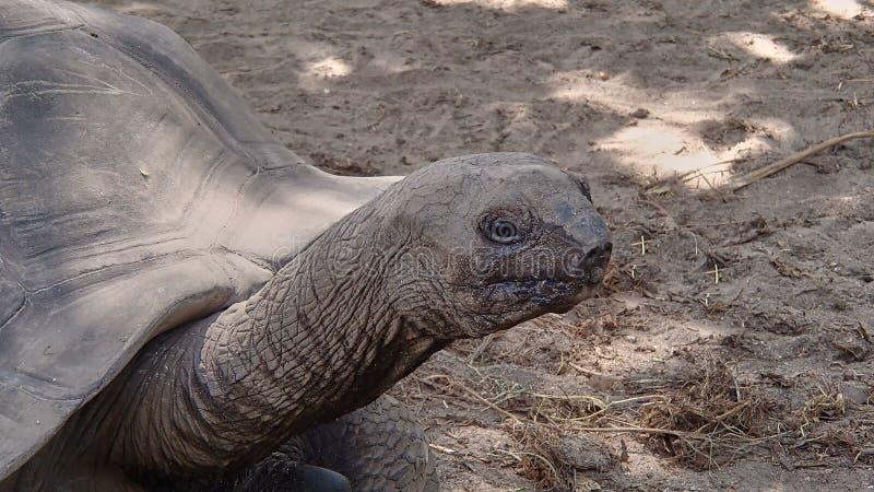 La testa, il collo e la parte della corazza dell'tortois giganti adulti immagine stock libera da diritti