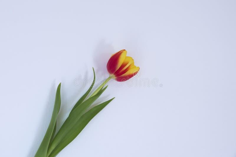 La testa rossa e gialla del garofano con il gambo verde e le foglie hanno messo su un bianco sporco indietro frantumato immagine stock libera da diritti