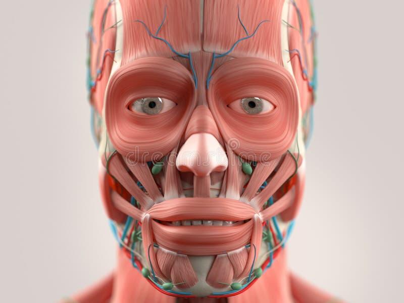 La testa umana di rappresentazione dell'anatomia, fronte, osserva fotografia stock