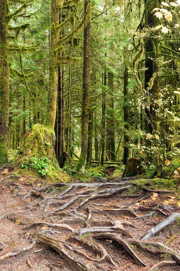 La textura abstracta del árbol arraiga en la selva tropical de Lynn Can imagen de archivo