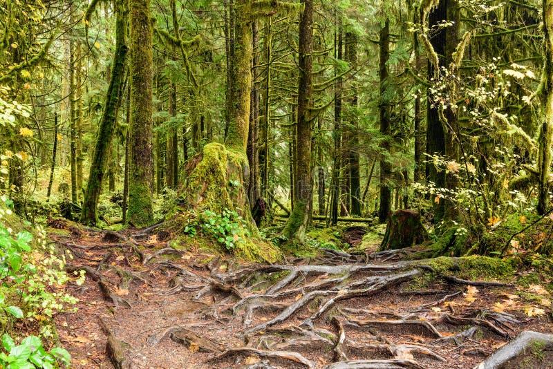 La textura abstracta del árbol arraiga en la selva tropical de Lynn Can foto de archivo
