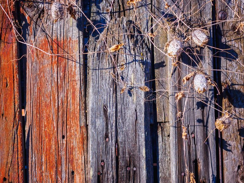 La textura de la cerca vieja con los pepinos salvajes secados fotografía de archivo