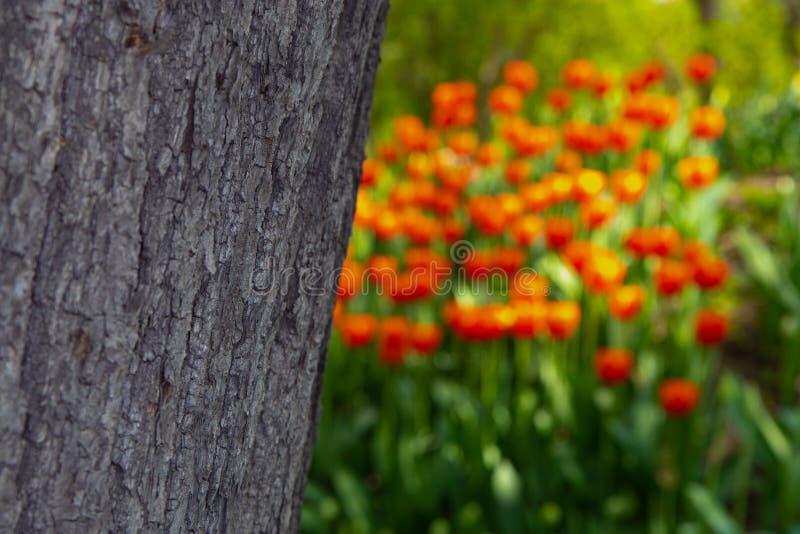 La textura de la corteza de árbol en un fondo borroso de tulipanes anaranjados foto de archivo libre de regalías