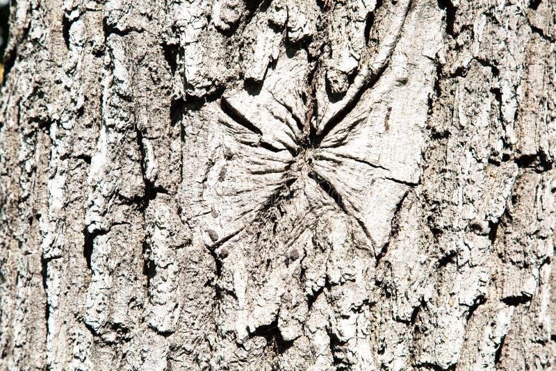 La textura de la corteza del roble Fondos de la textura para el dise?o de gr?ficos del papel pintado fotografía de archivo libre de regalías