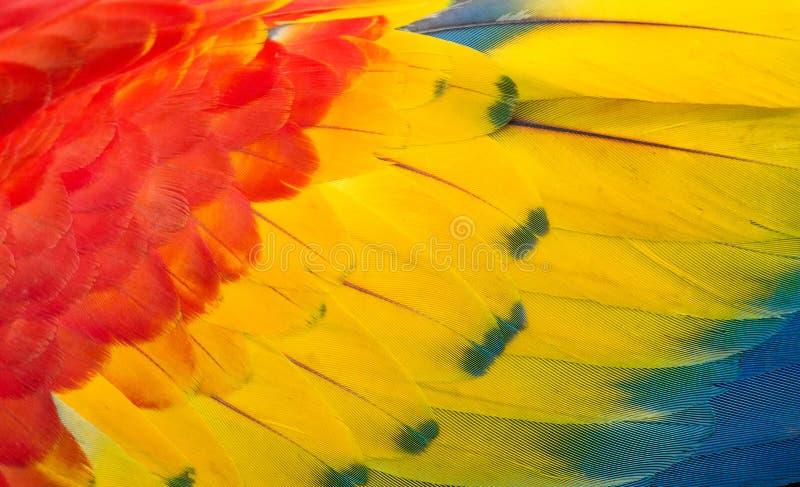 La textura de las plumas de un macaw del escarlata fotografía de archivo libre de regalías