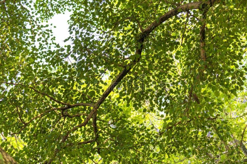 La textura de Neture, hojas del árbol de Pepal, gree deja el fondo fotografía de archivo