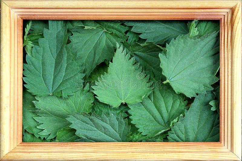 La textura de la ortiga fresca verde se va en un marco foto de archivo libre de regalías