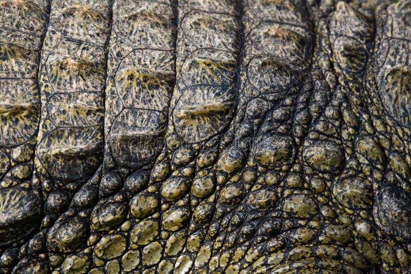 La textura de la piel gruesa del cocodrilo africano fotografía de archivo