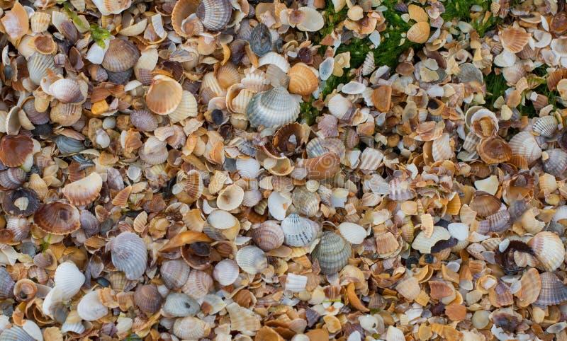 La textura de la playa de conchas marinas y de la alga marina imagen de archivo libre de regalías