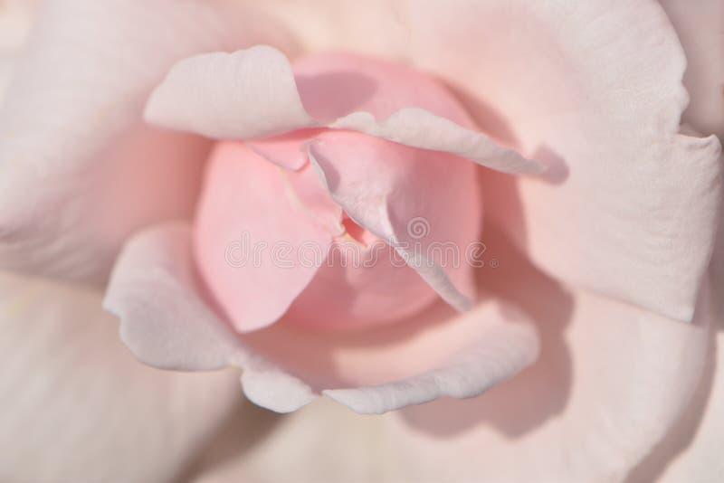 La textura del rosa en colores pastel delicado subió flor con los pétalos abiertos imagenes de archivo