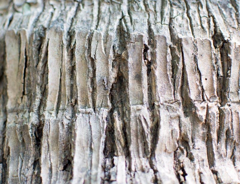 La textura del tronco gris que tiene muchas grietas, éste es el tronco de árbol de coco del árbol viejo fotografía de archivo