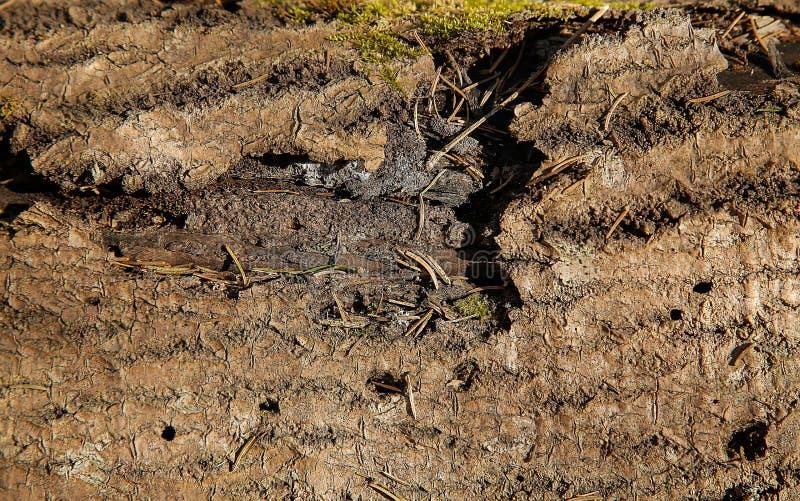 La texture d'un vieil arbre forestier avec un tronc en lambeaux endommagé image stock