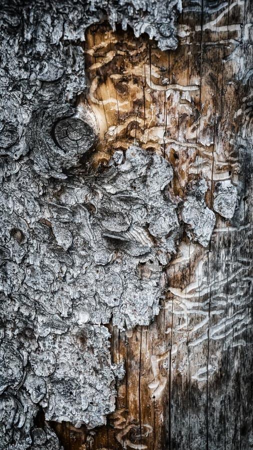 La texture de l'arbre endommagé par le parasite de la forêt par l'écorce de scarabée photos stock