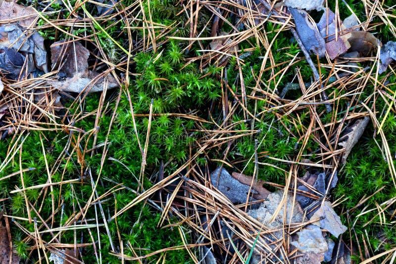 La texture de la traînée de forêt Mousse, aiguilles tombées et feuilles photo stock