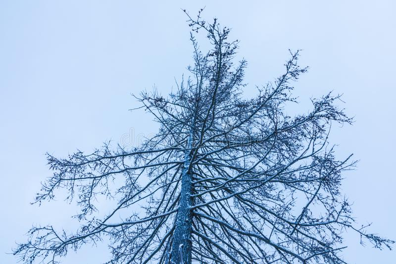 La texture des branches de la fourrure ou de l'arbre impeccable sous la neige, hoar sur le fond du ciel nuageux image libre de droits