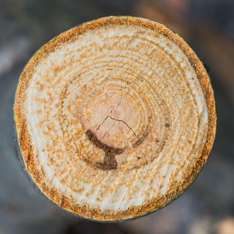 La texture du cercle en bois part Plan rapproché Macro photographie stock libre de droits