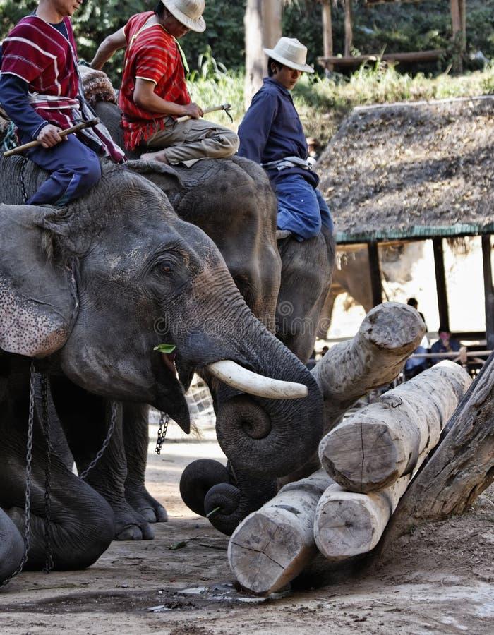 La Thaïlande, Chiang Mai, éléphants asiatiques photographie stock libre de droits