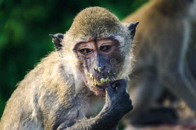La Thaïlande du singe image libre de droits