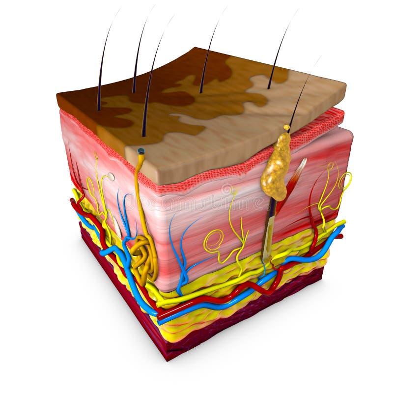 La tigna versicolor è una circostanza caratterizzata da un'eruzione cutanea illustrazione di stock