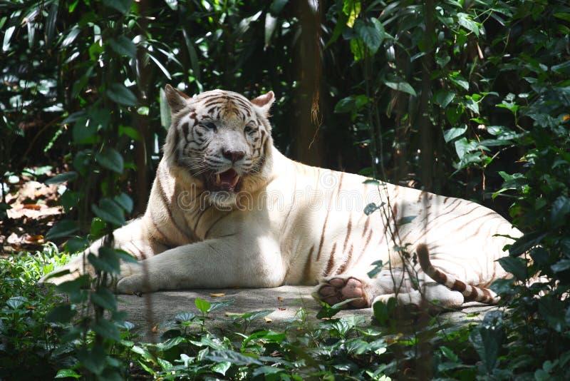 La tigre bianca si siede fotografie stock libere da diritti