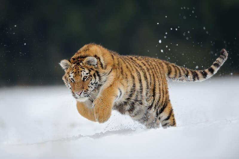 La tigre che salta sulla neve fotografia stock libera da diritti