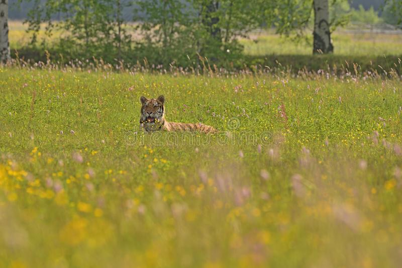 La tigre dell'Amur della tigre siberiana - altaica del Tigri della panthera immagini stock
