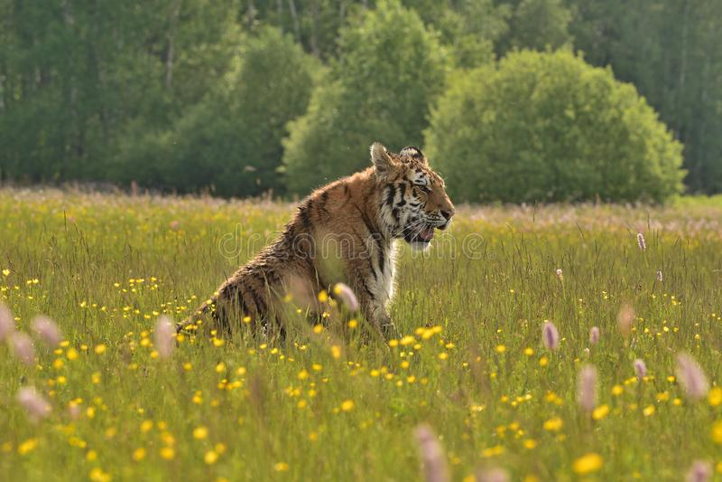 La tigre dell'Amur della tigre siberiana - altaica del Tigri della panthera fotografia stock