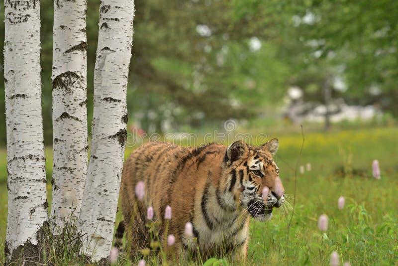 La tigre dell'Amur della tigre siberiana - altaica del Tigri della panthera fotografie stock