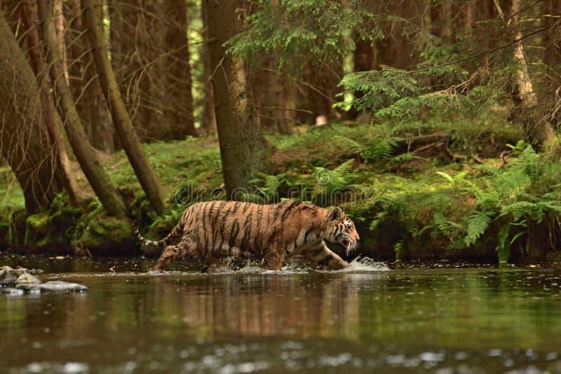 La tigre dell'Amur della tigre siberiana - altaica del Tigri della panthera fotografia stock libera da diritti