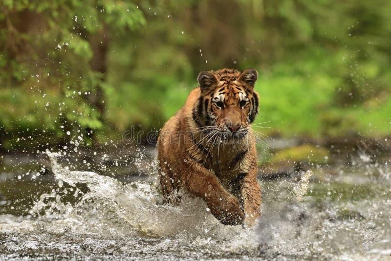 La tigre dell'Amur della tigre siberiana - altaica del Tigri della panthera immagine stock