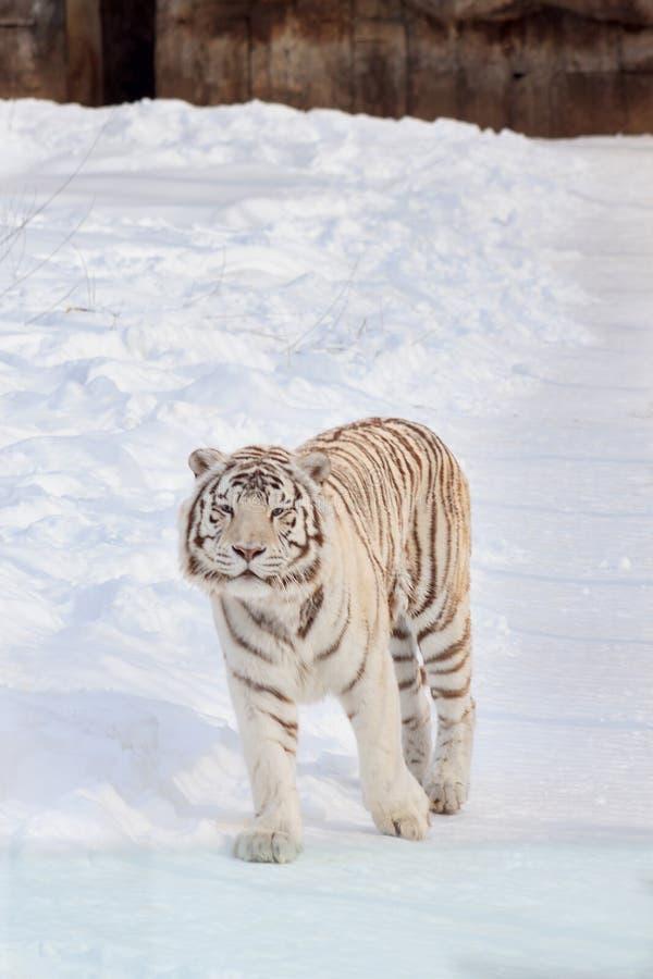 La tigre di Bengala bianca selvaggia sta esaminando la macchina fotografica Animali in fauna selvatica immagine stock libera da diritti