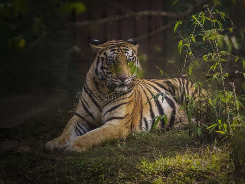 La tigre di Bengala reale fotografia stock