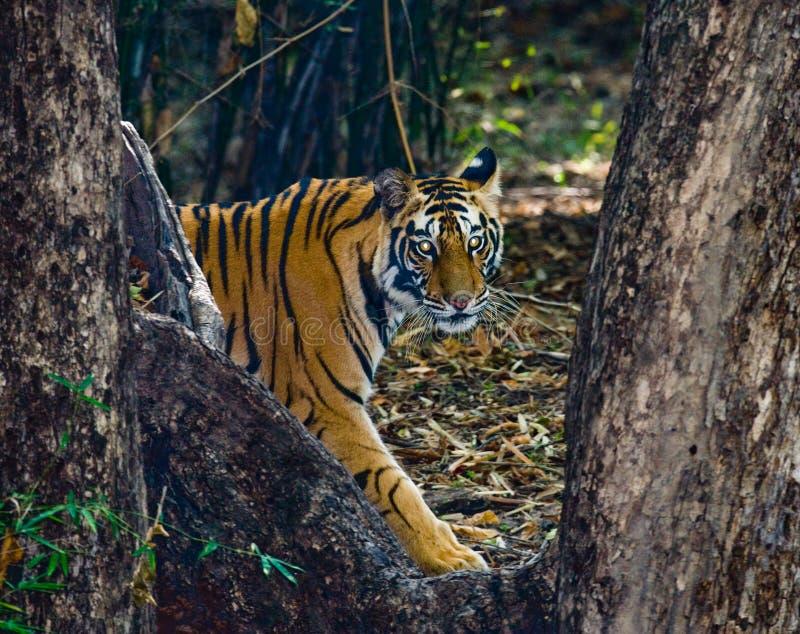La tigre di Bengala selvaggia guarda fuori dai cespugli nella giungla L'India SOSTA NAZIONALE DI BANDHAVGARH Madhya Pradesh immagini stock libere da diritti