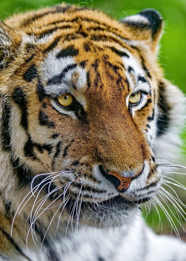 La tigre di Ussuri o dell'Amur, o il Lat dell'Estremo-Oriente della tigre Il altaica del Tigri della panthera ? una sottospecie d fotografia stock