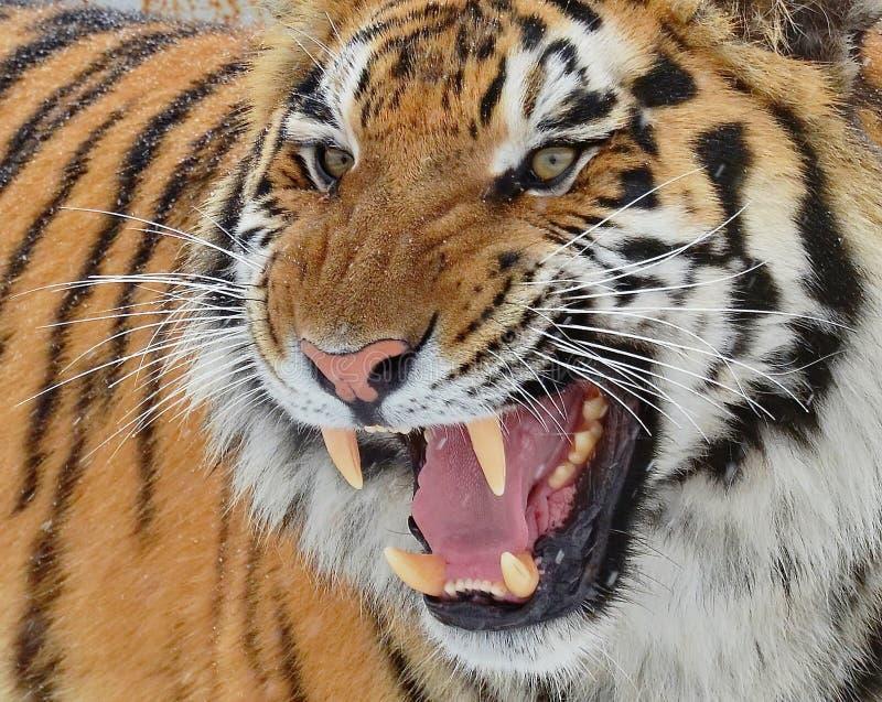 La tigre di Ussuri o dell'Amur, o il Lat dell'Estremo-Oriente della tigre Il altaica del Tigri della panthera ? una sottospecie d fotografie stock libere da diritti