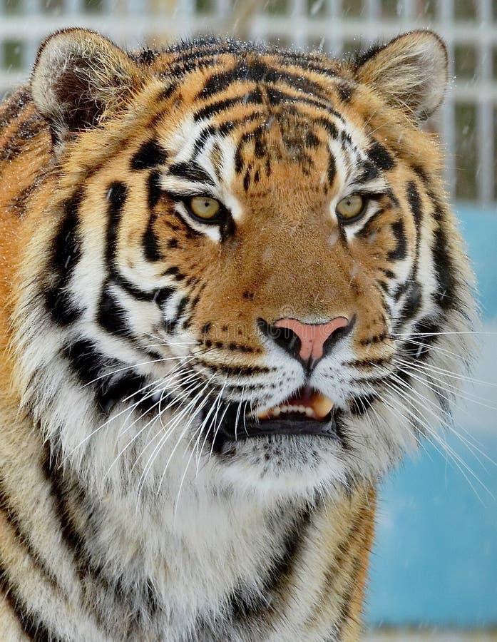 La tigre di Ussuri o dell'Amur, o il Lat dell'Estremo-Oriente della tigre Il altaica del Tigri della panthera ? una sottospecie d fotografie stock