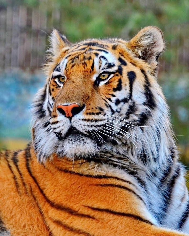 La tigre di Ussuri o dell'Amur, o il Lat dell'Estremo-Oriente della tigre Il altaica del Tigri della panthera ? una sottospecie d immagine stock