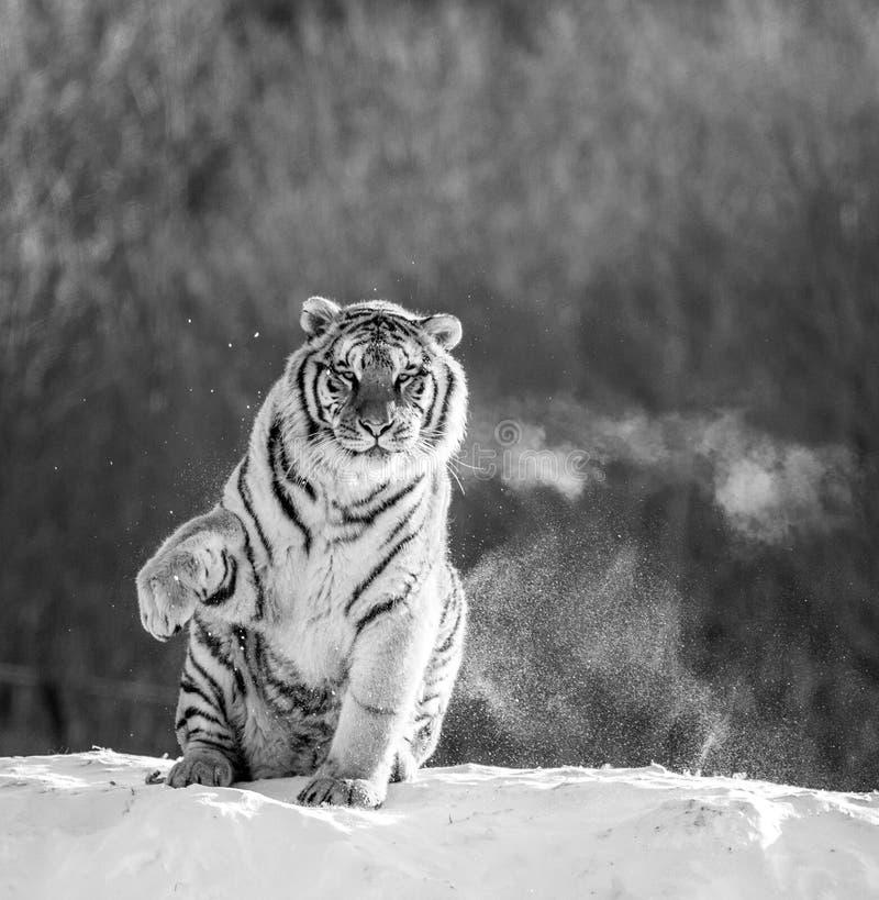 La tigre siberiana si siede su una collina nevosa contro lo sfondo di una foresta dell'inverno in bianco e nero La Cina harbin fotografia stock libera da diritti