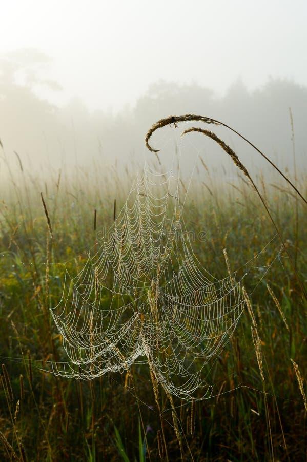 La toile d'araignée couverte de rosée a suspendu sur des têtes de graine d'herbe un matin brumeux images libres de droits
