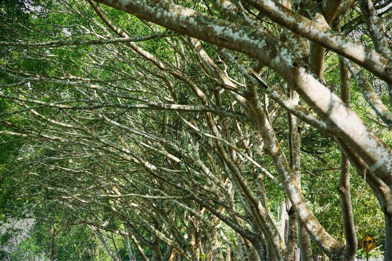 La tomaia si ramifica albero del tunnel della o f con il tunnel verde fresco del fogliame fotografie stock